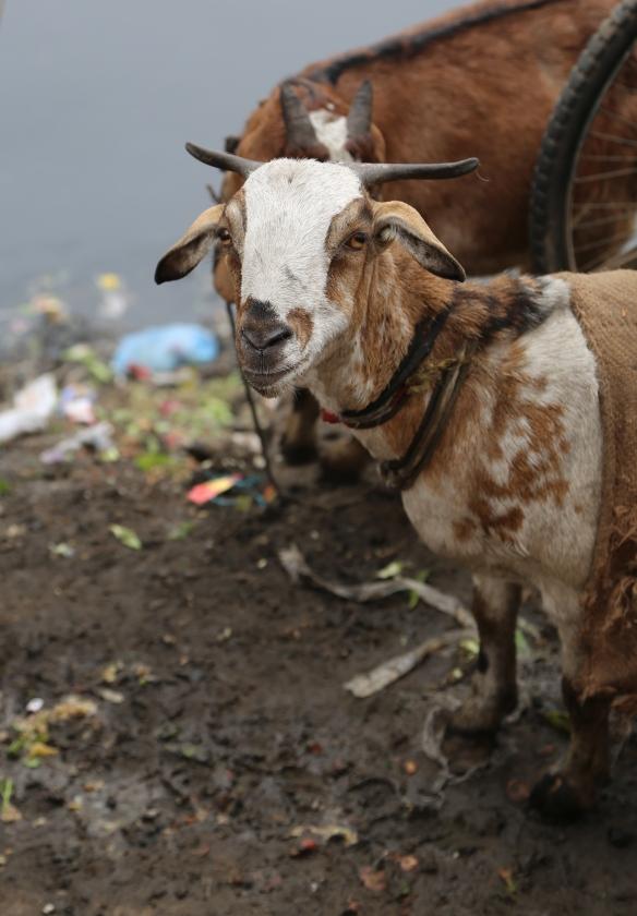 _Slum Goat
