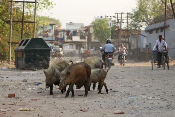 _Pigs in Street